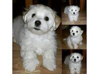 Maltese Cross Puppies