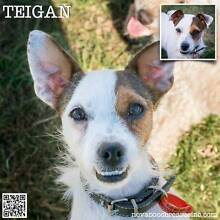 Teigan - Small Female Jack Russell Terrier Blend Metford Maitland Area Preview