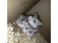 Roborovski Dwarf baby hamsters , 4 weeks old very cute, handled daily