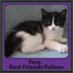 Fern - Best Friends Felines Bonogin Gold Coast South Preview
