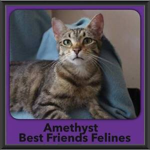 Amethyst - Best Friends Felines Bonogin Gold Coast South Preview