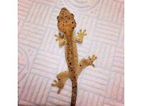 Super Dalmatian Crested Geckos