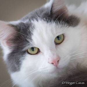 AK1165 : Snuggles - CAT for ADOPTION - Vet Work Included Thornlie Gosnells Area Preview