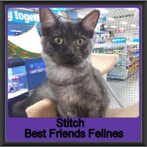 Stitch - Best Friends Felines