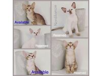 Siamese & Oriental Kittens for Sale Hampshire