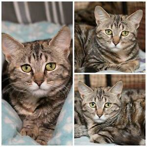 AK1351 : Laila - CAT for ADOPTION - Vet Work Included Tuart Hill Stirling Area Preview