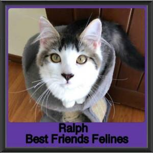 Ralph - Best Friends Felines