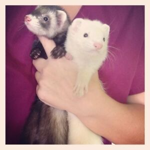 Looking for  a pair of ferrets who need a good, loving home.