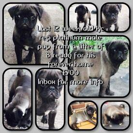Kc registered platinum pug boy for sale