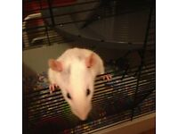 3 Male Rats (Cream & Grey) 5 Months, need a new loving home. Cage inc.