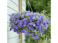 surfinia 12 Jumbo Plug Plants £6/ bedding plant £1 trailing petunia for sale for the charty.