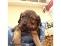3/4 miniature dachshund puppies