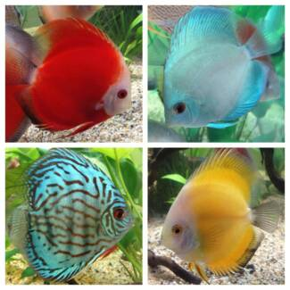 ** Elite Fish ** Tropical - Cichlids - Marine - Coral - Goldfish Mount Barker Mount Barker Area Preview