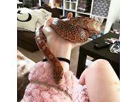 Corn snake and everything youll need