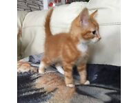 ****Stunning Fluffy Ginger Male**** only one boy remain