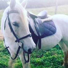 URGENT SALE!!! 14.3hh Welsh x Stock Horse Mare Lismore Lismore Area Preview