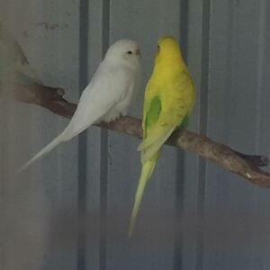 7 pairs bonded breeding budgies sell or swap for Quakers Jimboomba Logan Area Preview
