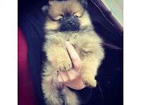 Beautiful full pedigree pomeranian puppy