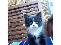 Kitten fluffy female