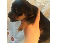 Four black&tan pups for sale