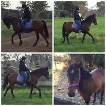 Tommy 14.1hh Reg part Aus Riding Pony Warrnambool Region Preview