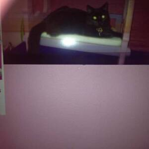 Lilly lost 1 year old Back cat Adelaide CBD Adelaide City Preview