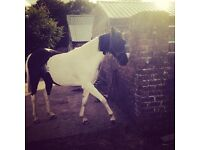 14.2hh lovely trotter