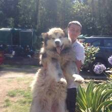 Malamute for adoption Oakdale Wollondilly Area Preview