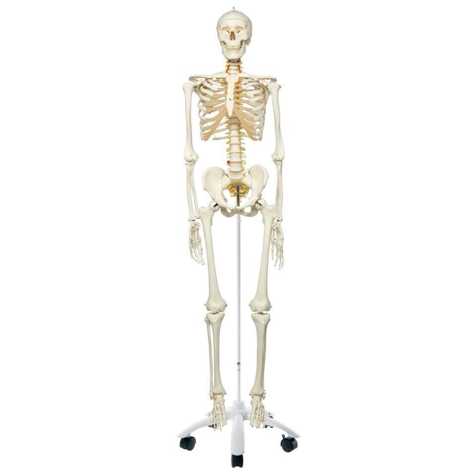 Life Size Skeleton With Anatomy Posters In Tuffley