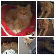 Cat for sale Evatt Belconnen Area Preview