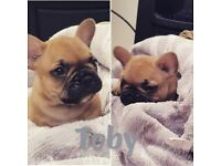 French bulldog puppies silver tested parents with fbce
