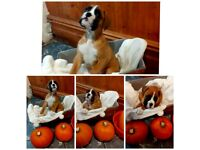 FOUR WONDERFULL KC REG BOXER PUPPIES MUM AND DAD ARE HERE TO SEE
