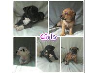 *Beautiful staff puppies*