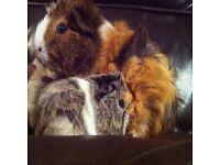 URGENT. Three female guinea pigs & Hutch and Run.