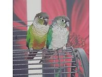 conures x4 tame 2 hens 2 cocks