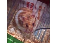 Lovely young hamster free to gentle and experienced home