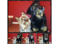 Rottweiler Alsation 6 year old boy free to good home