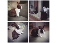 Re-Home Gorgeous Dutch rabbit (Genuine reason)
