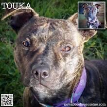 Touka - Medium Female Staffy Mix Telarah Maitland Area Preview