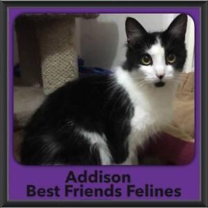 Addison - Best Friends Felines Bonogin Gold Coast South Preview