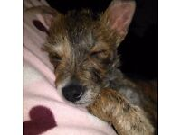 12 wk Male Cairn / Norfolk Terrior fully inoculated , micro chipped , wormed,