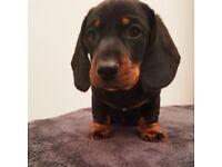 Black and Tan Mini Dachshund puppy