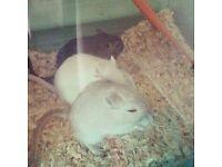 3 friendly gerbils free to a good loving home
