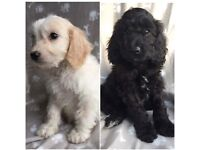 Ready Now!! Stunning PRA Clear Cockapoo Puppies