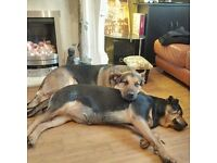 2 dogs for sale, GSD and Rottweiler