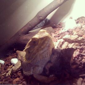 2years old male bearded dragon