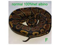 royal pythons normal 100% het albino , spider, mojave, mystic. snake