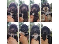 Beautiful Cockerpoo Puppies for sale