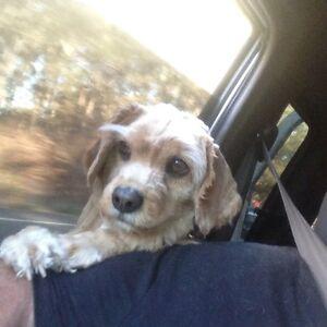 Cavalier x poodle free to a good home Kurri Kurri Cessnock Area Preview