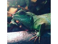 5ft by 3ft by2ft Custom Viv, with Chinese Water Dragon & 4 Anoles & Aquarium.